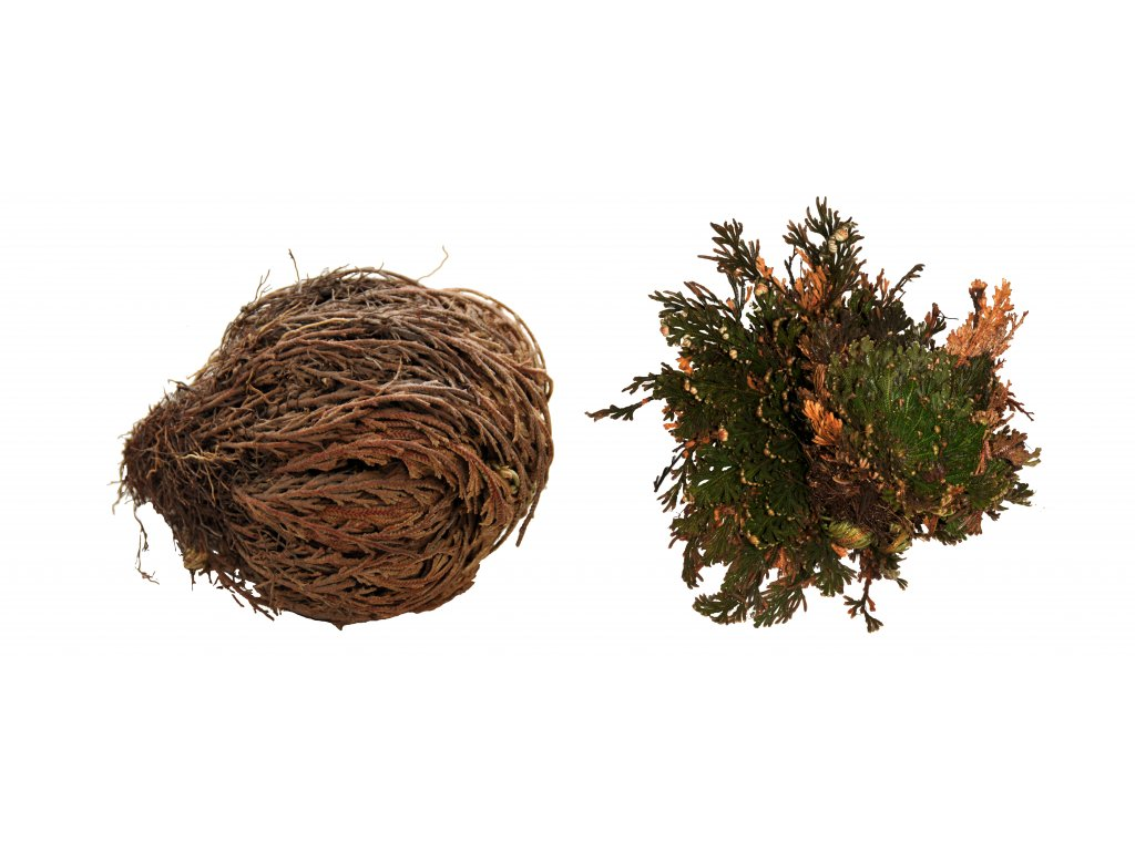 "Lucky Reptile ""Rose of Jericho"" 50 g"